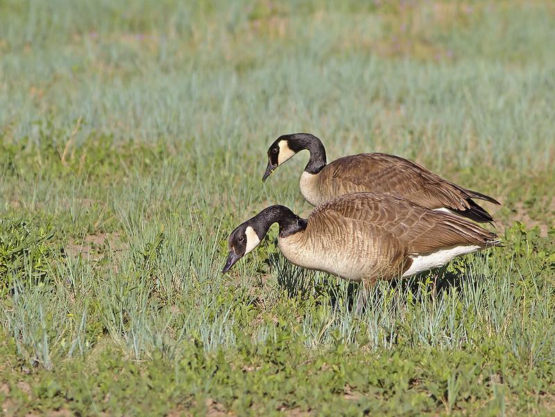 Goose Canada_1105