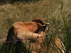 20080907 31797 1008 Jakobus Kuh braun - Photo of Prinsuéjols