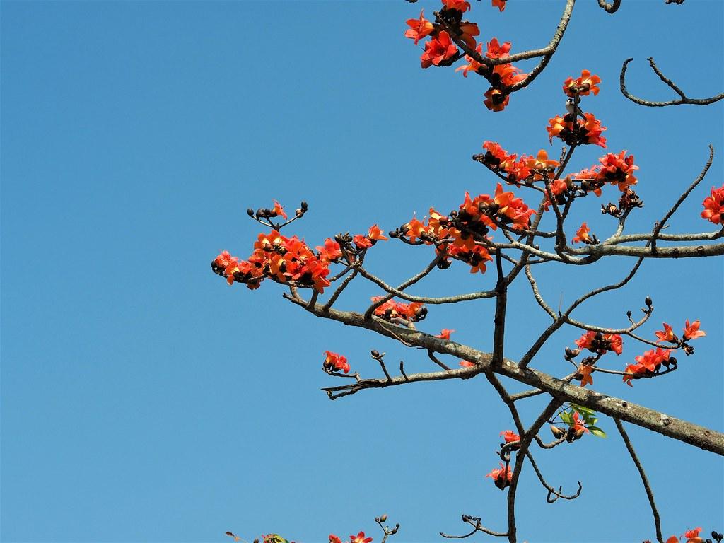 白河木棉花季 (8)