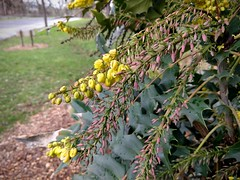 Oregon grape (Mahonia aquafolium)