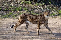 Northeast African Cheetah (Acinonyx jubatus soemmeringii)