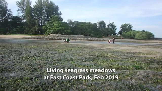 Seagrass meadows at East Coast Park, Feb 2019
