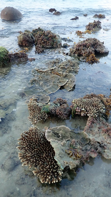 Living reefs of Kusu Island, Dec 2018