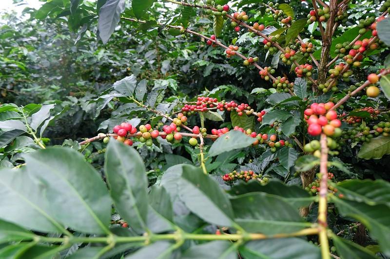 Cây cà phê Villa Sarchi tại nông trại Cerro Alto - Costa Rica