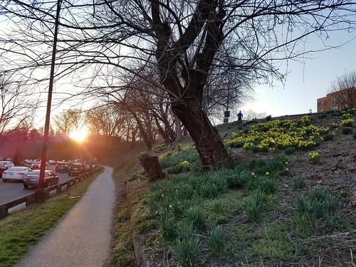 Daffodil Hill in Rose Park