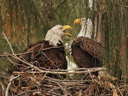 Bald Eagle 6220-20190125
