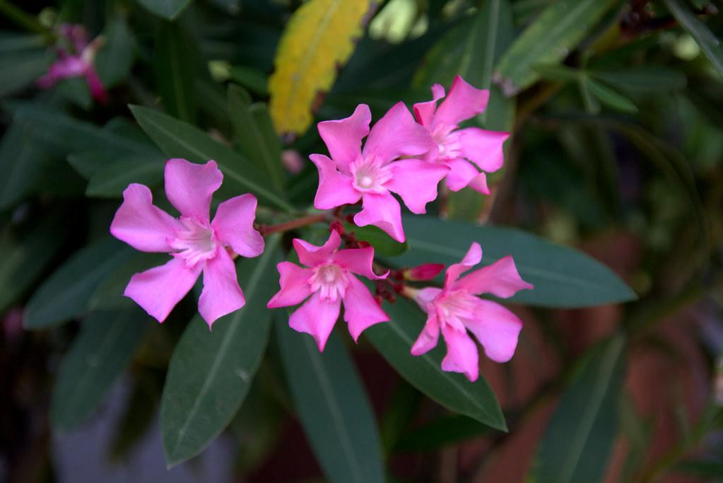 Nerium Oleander o Adelfa