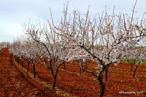 Almendros - Almond trees