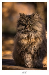 chat british longhair - Photo of Le Broc