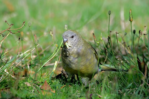 Female red rump parrot