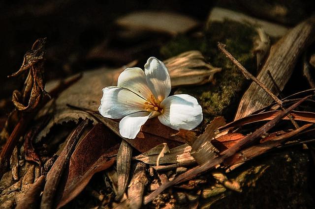 笠頂山油桐花 1
