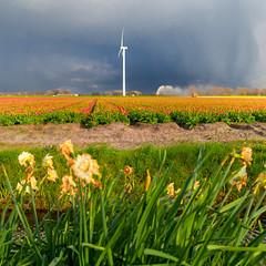 Tulpen velden bij Petten