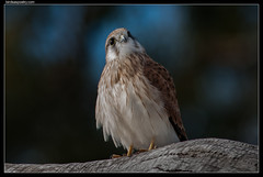 Nankeen Kestrel: Looking Forward, Looking Back