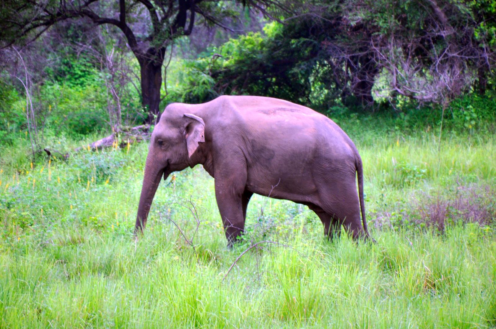 VER ELEFANTES SALVAJES EN SRI LANKA ver elefantes salvajes en sri lanka - 32032828447 3caffcc8a2 h - Ver elefantes salvajes en Sri Lanka