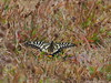 Photo:Papilio xuthus butterfly (Asian swallowtail, アゲハチョウ) By Greg Peterson in Japan