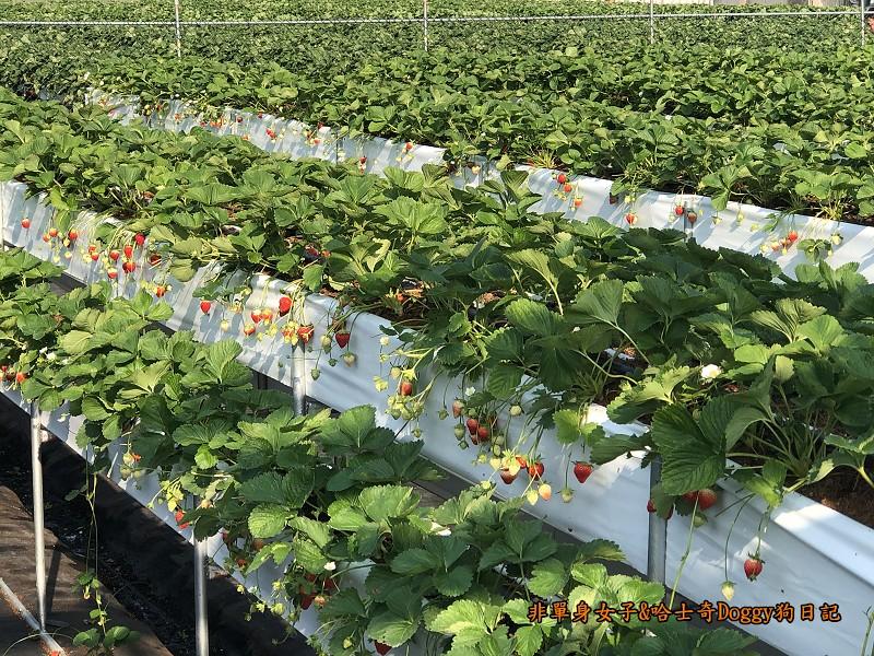 苗栗大湖草莓13