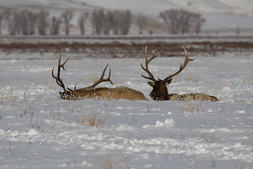 Bull Elk On National Elk Refuge