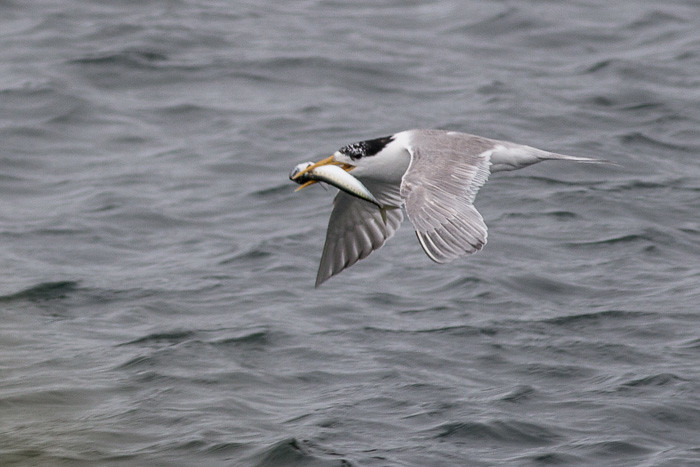 Crested Tern with big fish