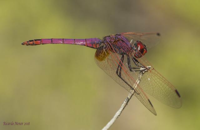 Trithemis annulata. Male
