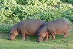 Hippos (Hippopotamus amphibius) grazing ...