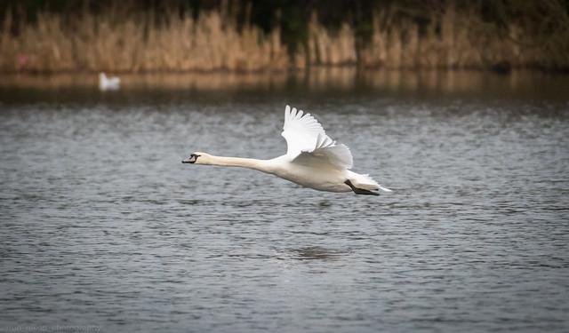 Swan In Flight, Nikon D810, AF-S Nikkor 200-500mm f/5.6E ED VR