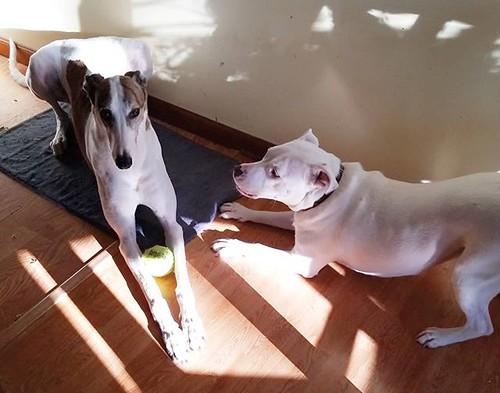 When The Dee-oh-gee has Dee-oh-gee 2.0's ball.... #Cane #dogsofinstagram #greyhound #greyhoundsofinstagram #Carla #pitbullsofinstagram #pitbullmix #pittie #shenanigans