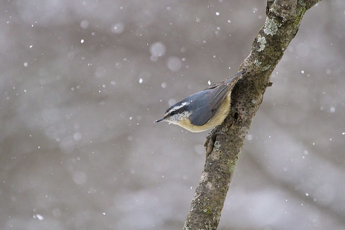 super snowy nuthatch ( explore )