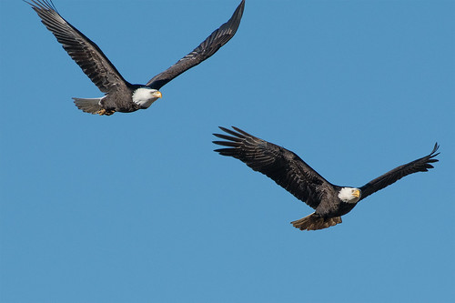 American Bald Eagle_1NG6192
