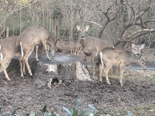 cute deer invasion, photo 2