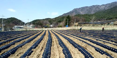 백출밭 망쌓고 비닐씌우기