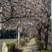 증산역 불광천 벚꽃 피기 시작한 벚꽃나무