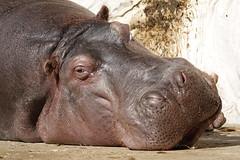 Hippo, Ueno Zoo, Tokyo Japan