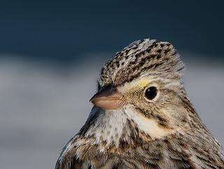 Savannah-Sparrow-Ipswich-2180