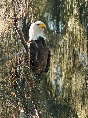 Bald Eagle female Jewel 20190209