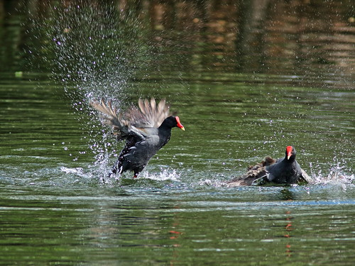 Common Gallinules mix it up 08-20190308