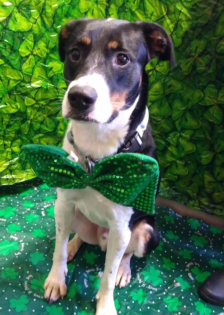 St. Patrick's Day 2019 - lucky dogs!