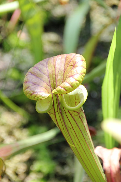 Sarracenia x excellens. Pitcher, Canon EOS 550D, Sigma 18-250mm f/3.5-6.3 DC OS HSM