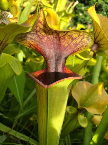 Sarracenia flava var. flava 'Dragon'
