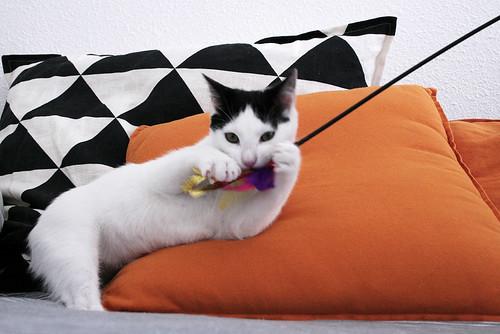 Morad, gatito blanco con toques negros muy juguetón nacido en Octubre´18, en adopción. Valencia. 46071409275_ed62e3d17d
