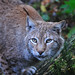 Eurpäischer Luchs / european lynx (Lynx lynx)