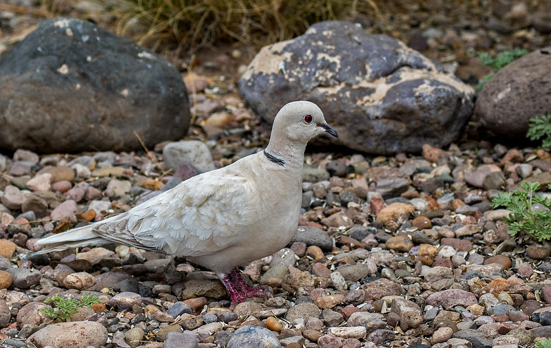Ring-Turtle-Dove-6-7D2-042218