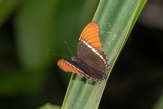 Siproeta epaphus_01