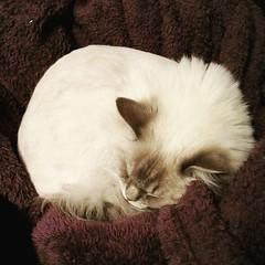 Katter är runda. #kattvakt #wille