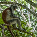 Red Colobus Monkey – Zanzibar