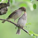 Sparrow feeding young