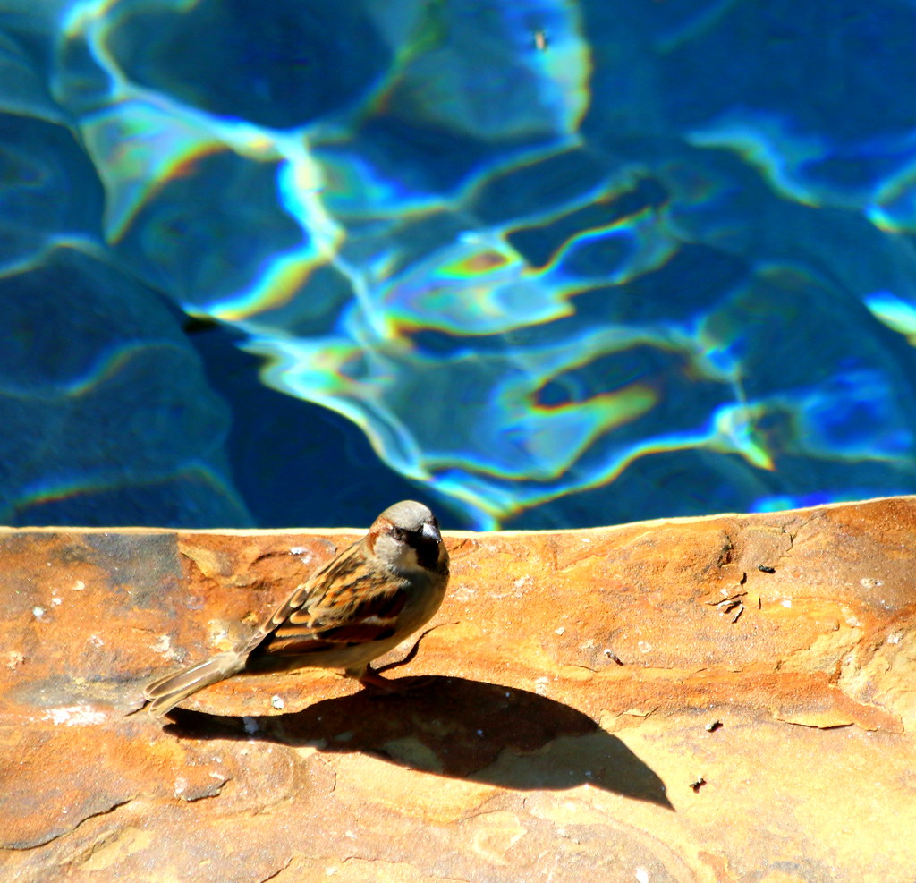 Poolside House Sparrow