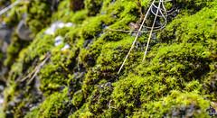 Mousse végétale dans le canyon de Zoundaï