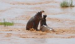 Hippos (Hippopotamus amphibius) fighting ...