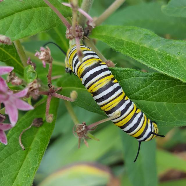 Caterpillar of Danaus plexippus, monarch butterfly, in my garden, August 2018.