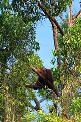 Semengogh Wildlife Reserve, Kuching